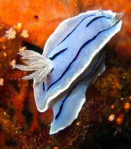 A photo of Chromodoris willani, by Alex Jenner, Wikimedia Commons