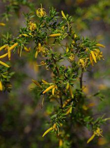 Persoonia terminalis ssp recurva, Australian National Botanic Garden, Canberra, ACT, 23-12-14 (16731755955)