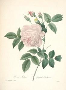 Drawing by Pierre-Joseph Redouté, public domain/CC0.