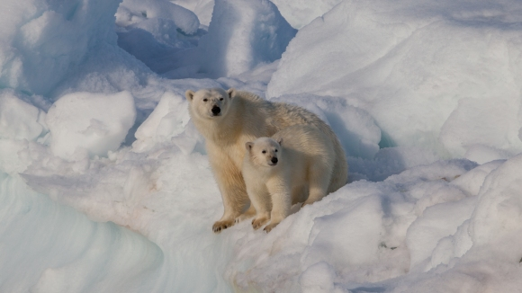 A polar bear and her cub. Photo by Andreas Weith, CC BY-SA 4.0.